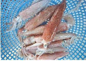 Whole round squid